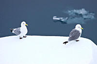 Adult black_legged kittiwake Rissa tridactyla near ice in the Svalbard Archipelago, Barents Sea, Norway MORE INFO The name is derived from its call, a...