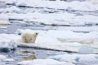 Adult female polar bear Ursus maritimus on multi_year ice floes in the Barents Sea off the eastern coast of Edge›ya Edge Island in the Svalbard Archip...