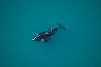 Southern Right Whale Eubalaena australis mother and calf The Cape, South Africa
