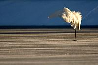 Great Egret (Casmerodius albus) on ice, preening, iced pond, winter, Bavaria, Germany