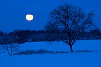 Moonset in winter, walnut tree, orchard, forest, snow-covered landscape, Franconian Switzerland, Bavaria, Germany