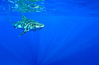 Adult tiger shark Galeocerdo cuvier in the AuAu Channel, Hawaii, USA Pacific Ocean MORE INFO The tiger shark is a species of requiem shark and the onl...