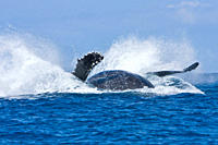 Humpback whale Megaptera novaeangliae in the AuAu Channel between the islands of Maui and Lanai, Hawaii, USA Each year humpback whales return to these...