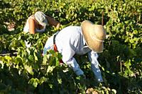 Spain - Vintage in a vineyard not far from the town of Jerez de la Frontera  In Andalucía the harvest of the common grape vine Vitis vinifera takes pl...