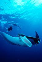 Giant manta rays with snorkeler Manta biostris Mexico