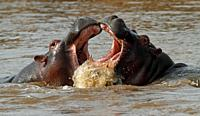 Hippos in Action