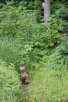 Red fox on forest path