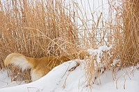 Golden Retriever hunting in tall grass and snow drift