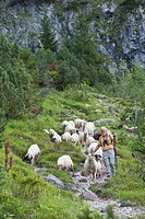 Austria, Steiermark, Hiker walking with flock of sheep