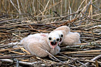 Marsh Harrier Circus aeruginosus chicks in nest, Sweden