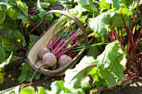 Fresh beetroot in basket