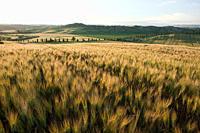 Barley field in evening light near Siena, Tuscany, Italy