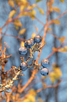 Germany, Nennslingen, Close up of sloes on limb