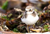 Ringed Plover Charadrius hiaticula in winter plumage