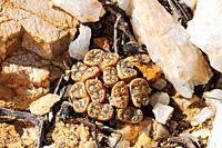 Conophytum sp  Springbok, Namaqualand, South Africa