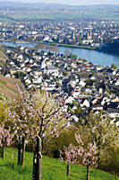 Germany, Rhineland_Palatinate, Leutersdorf, View of Rhine river and fruit trees