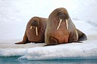two Walruses, Odobenus rosmarus, resting on ice floe, Spitsbergen, Svalbard