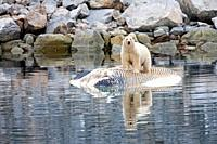 Polar Bear Ursus maritimus, standing on dead fin whale Balaenoptera physalus Spitsbergen, Svalbard