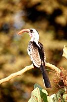 Red-billed Hornbill, Tockus erythrorhynchus, sitting on branch, The Gambia