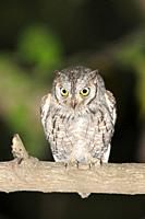 African Scops-owl, Otus senegalensis, sitting on branch at night, The Gambia
