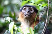 portrait of a Western Red Colobus, Piliocolobus badius, sitting between plants in forest, The Gambia