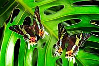 Sunset moths on rainforest leaf