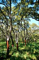 Mature cork oak trees, near Calangianus, Sardinia, Italy