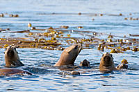 Stellar Sea Lions at home in the water, Gwaii Haanas, Haida Gwaii, British Columbia, Canada