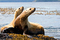 A pair of Stellar Sea Lions rest on the rocks, Gwaii Haanas, Haida Gwaii, British Columbia, Canada