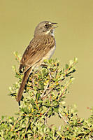 Sage Sparrow Amphispiza belli, Central Oregon, United States of America