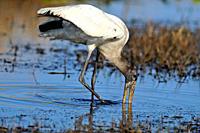 Wood Stork Mycteria americana Hunting, Kissimmee Prairie Preserve State Park, Florida, United States of America