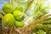 Cocos nucifera or coconuts growing on the tree