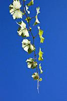 Leaves on a vine in a vineyard, directly below