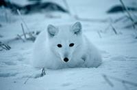 Arctic, Fox, Churchill, Manitoba, Canada, Vulpes, lagopus, Alopex, lagopus