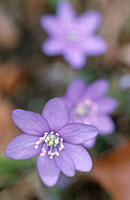 Hepatica, North, Rhine_Westphalia, Germany,Hepatica, nobilis