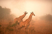 Giraffes, in, morning, haze, Kruger, national, park, South, Africa,Giraffa, camelopardalis