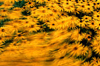 Black_eyed, Susan, in, wind, /Rudbeckia, fulgida