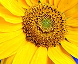 Sunflower,Helianthus, annuus