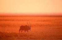Oryx, at, dusk, Etoscha, national, park, Namibia,Oryx, gazella