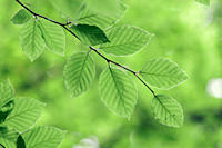 Beech, leaves, in, spring, North, Rhine_Westphalia, Germany,Fagus, sylvatica