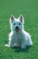 Young, Westhighland, White, Terrier