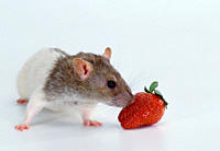 Domestic, Rat, aguti_hooded, and, strawberry