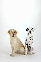 Dalmatian, and, Golden, Retriever
