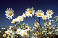 Ox_eye, Daisies, Bavaria, Germany, Leucanthemum, vulgare, Chrysanthemum, leucanthemum