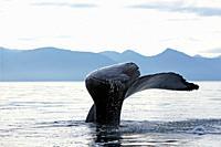 Humpback whale  Caudal fin  Tail  Megaptera novaeangliae  Order: Cetacea Suborder: Mysticeti Family: Balaenopteridae.