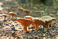 Edible mushroom, Saffron milk cap, Red pine mushroom, pinetell, níscalo Lactarius deliciosus in a wood, Moray, Scotland, United Kingdom, Europe