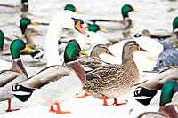 Ducks congregate along river wall looking for hand-outs  Prague, Czech Republic  Mallards collect in the boat locks during the winter snow season to l...