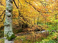 Beech beech forest in autumn in the Valley of Tobia - Comarca of Anguiano - Sierra de la Demanda - Sistema Ibérico - La Rioja - Spain