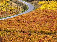 Vineyards in autumn road near Laguardia - Rioja Alavesa - Euskadi - Spain