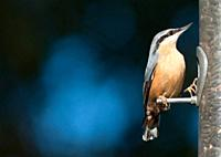 A Eurasian nuthatch Sitta europaea, male, seen in the West Midlands, UK